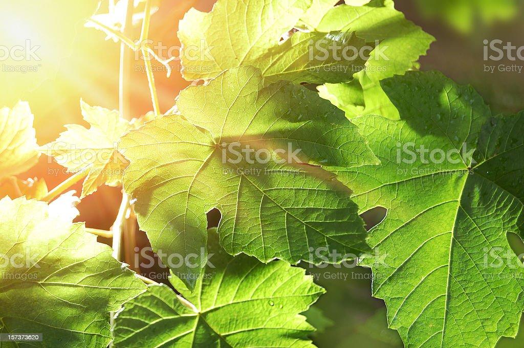 Branch of grape vine stock photo