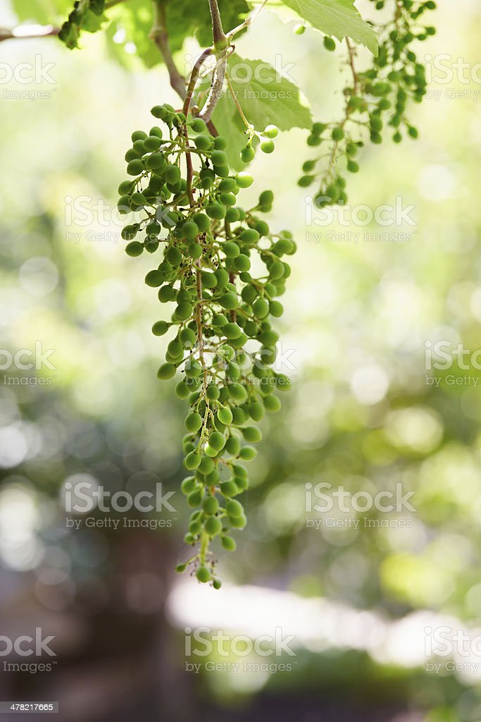 Branch of grape vine with grapes cluster stock photo