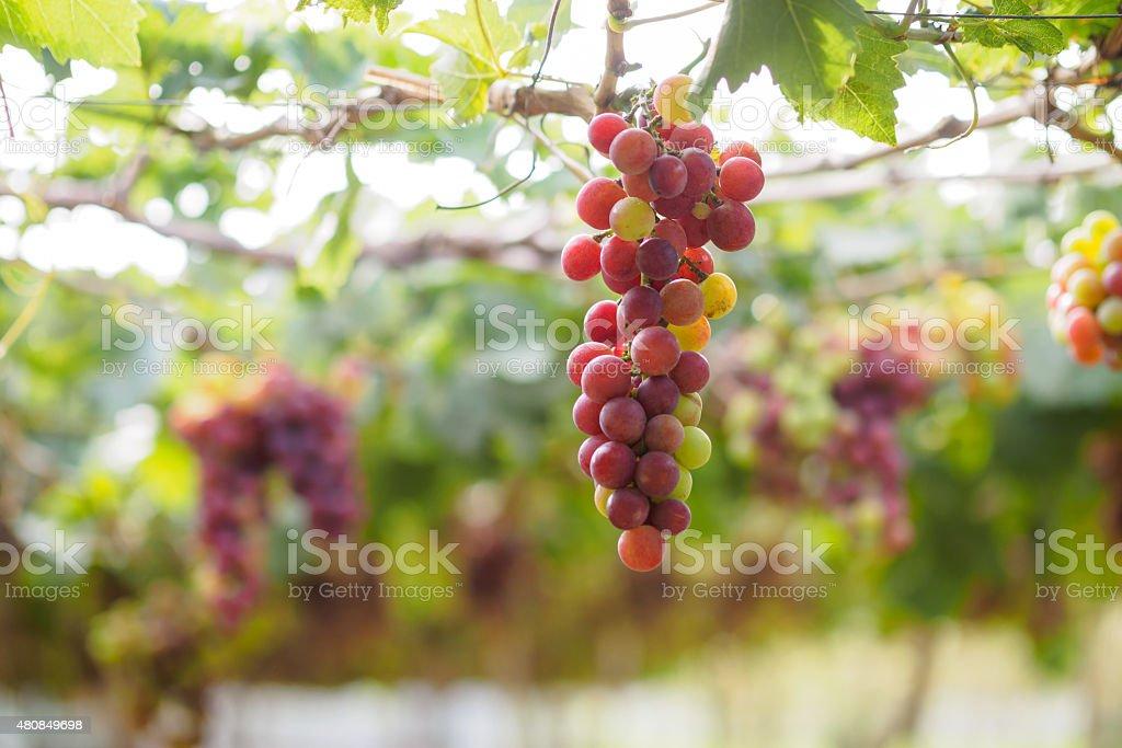 Branch of grapes on vine in vineyard stock photo