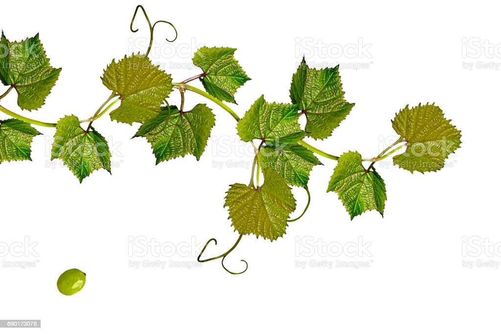branch of grapes stock photo