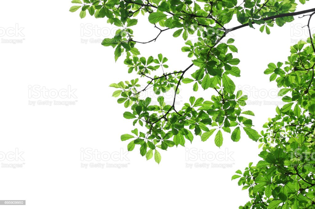 branch of green leaf isolated on white background with copy space for backround, concept for spring summer stock photo