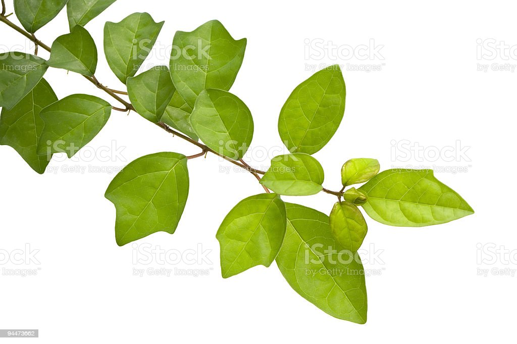 A branch of green leaves on a white background royalty-free stock photo