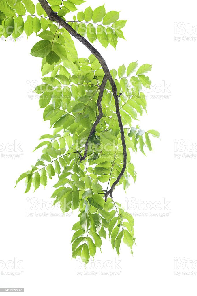 Branch of green leaves on white background. stock photo