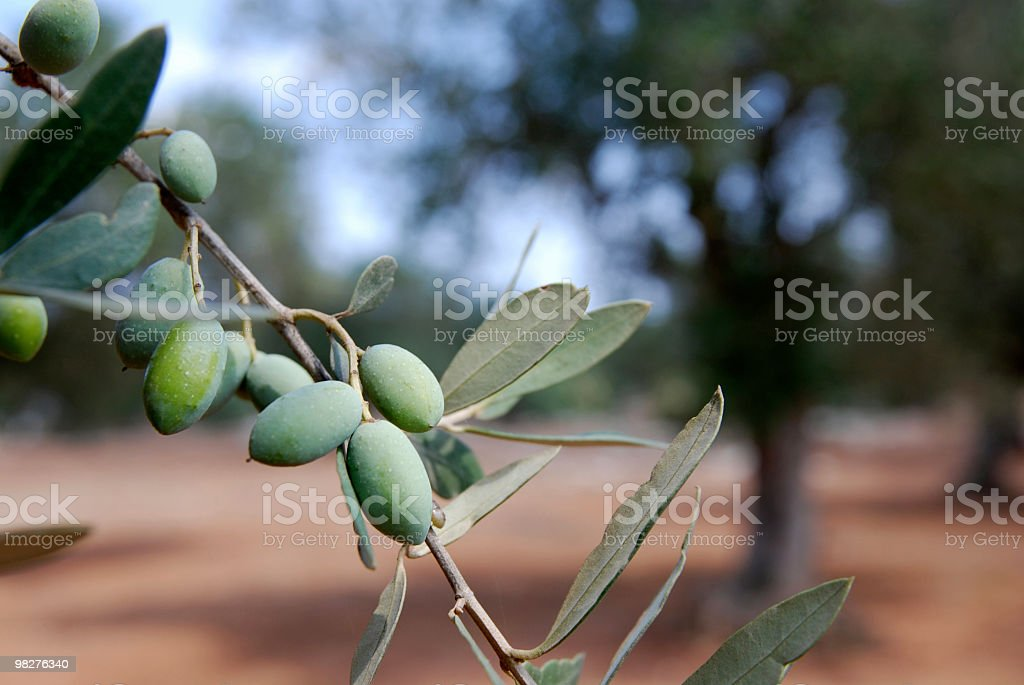 Branch of green olives and tree in background royalty-free stock photo