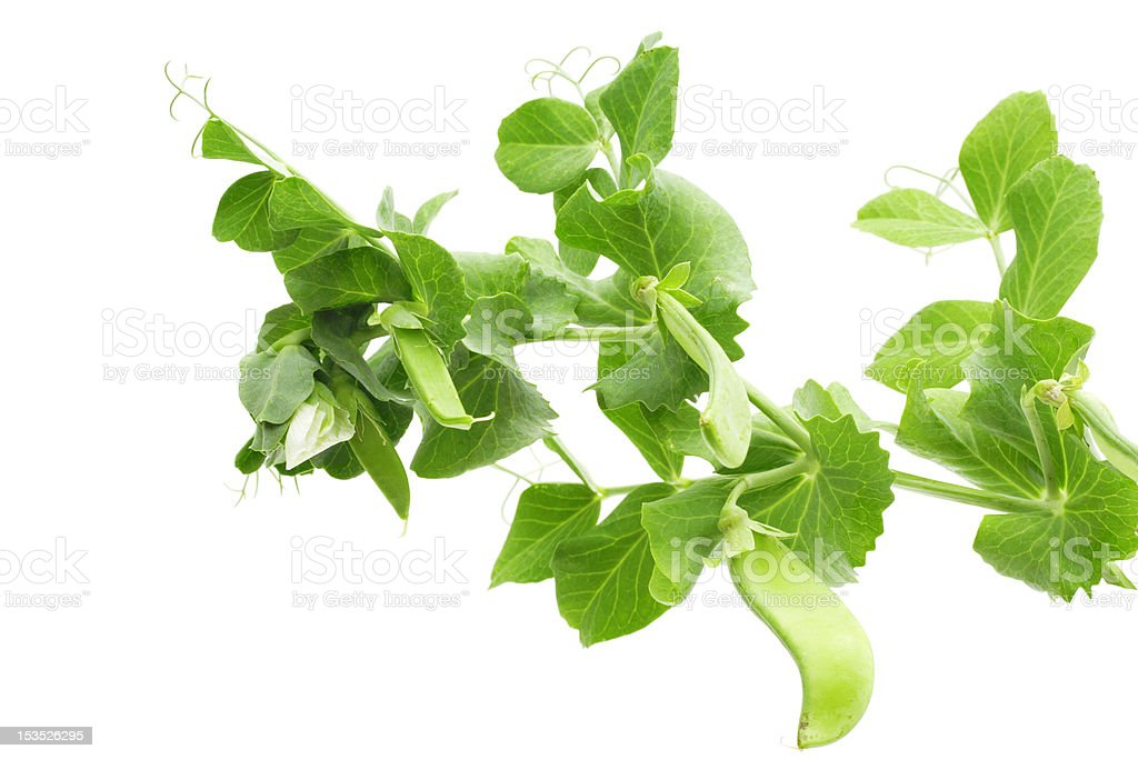 Branch of green pea royalty-free stock photo