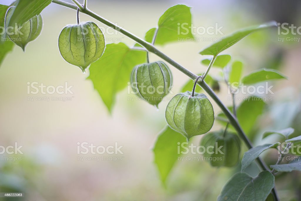 Branch of green Physalis stock photo