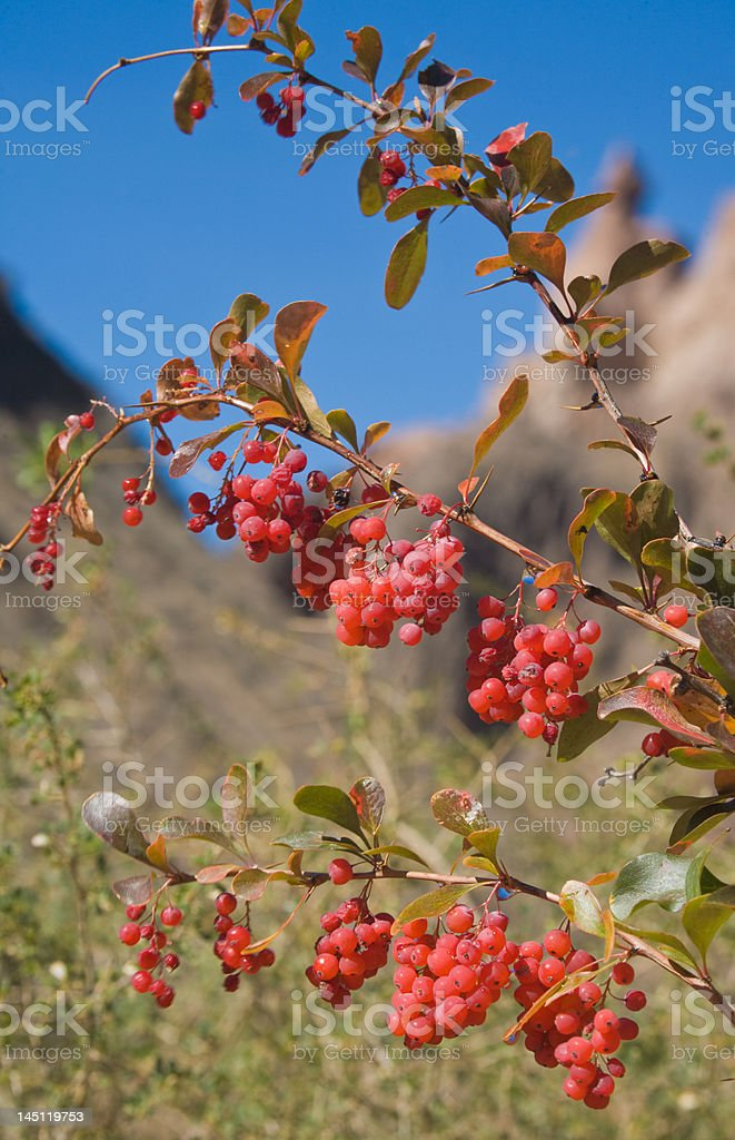 Branch of hawthorn in Charyn canyon background royalty-free stock photo