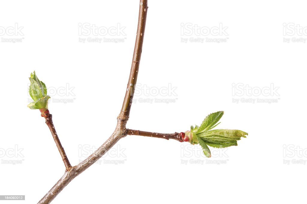 Branch of hawthorn royalty-free stock photo