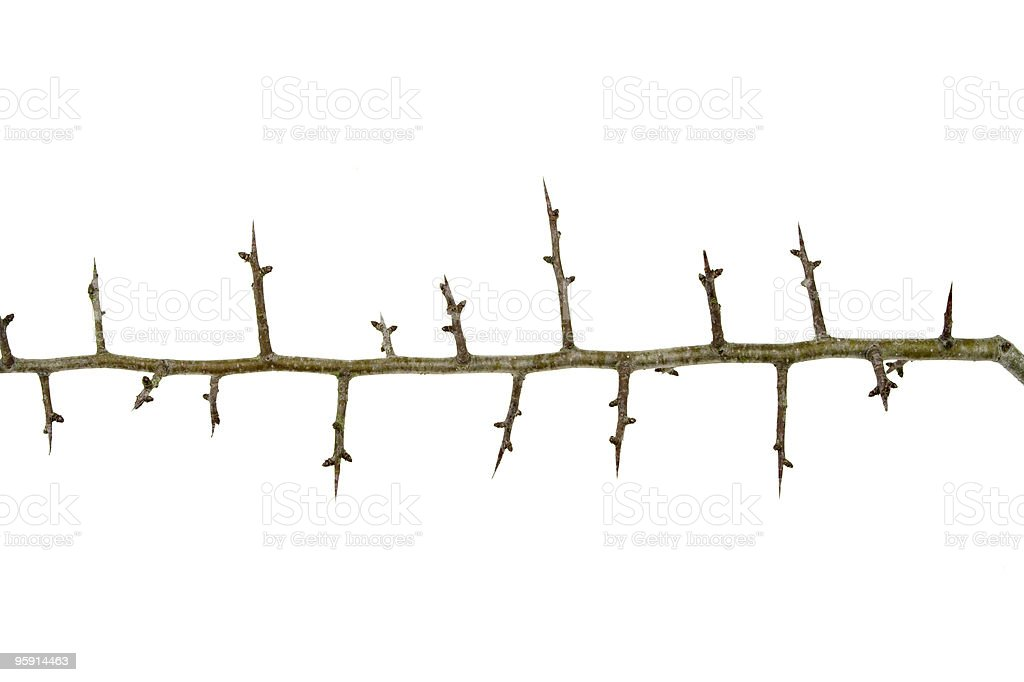 Branch Of Hawthorn Thorns royalty-free stock photo