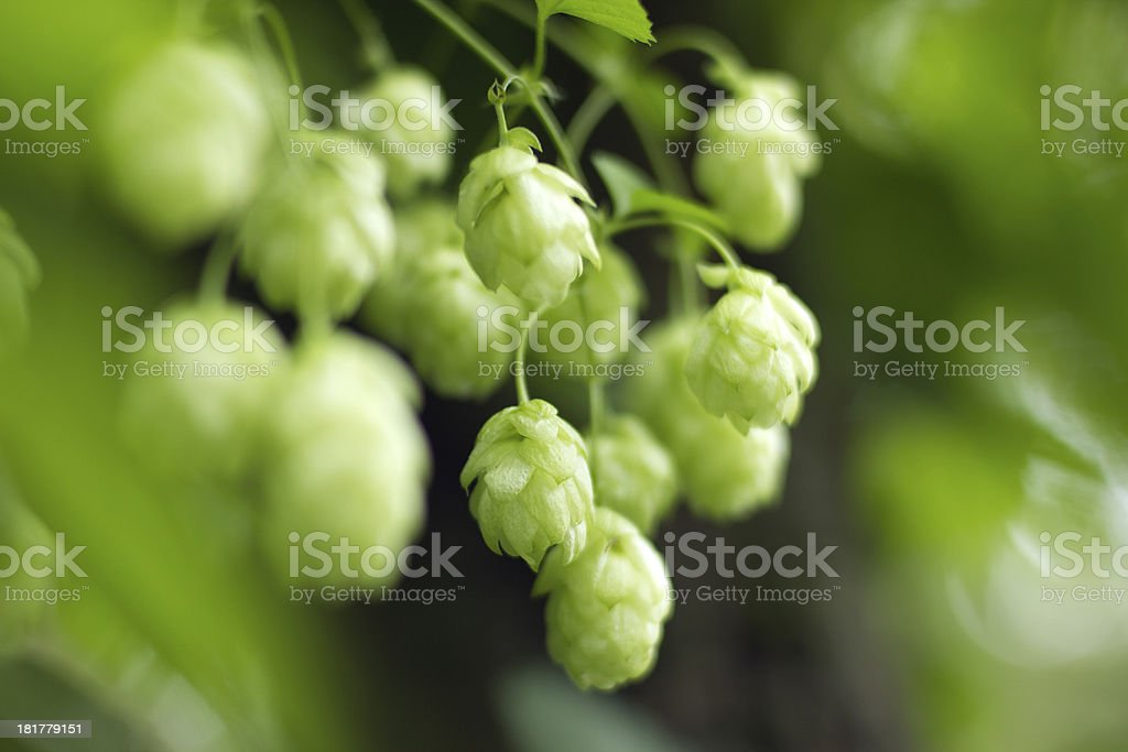 Branch of hop royalty-free stock photo