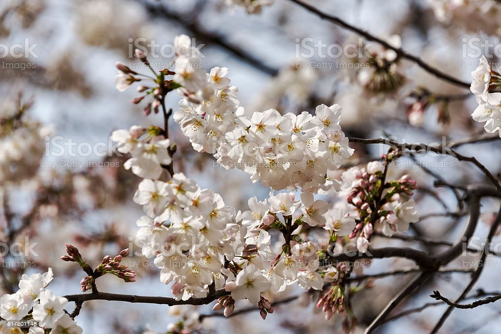 Branch of Japanese cherry tree blossoms stock photo
