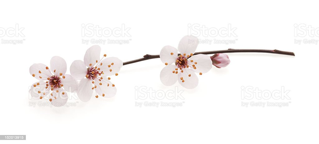 Branch of Japanese cherry with blossom royalty-free stock photo