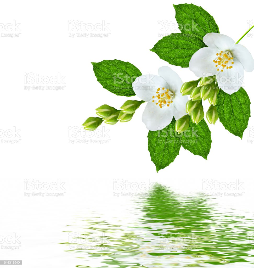 Branch Of Jasmine Flowers Stock Photo 649313540 Istock
