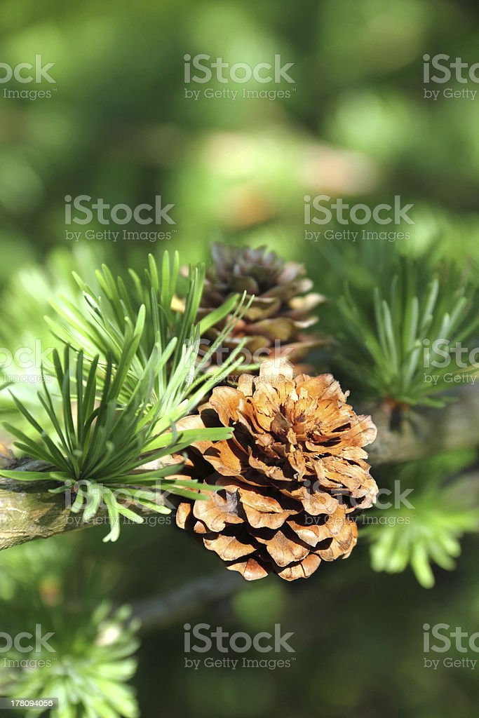 Branch of larch tree with cones stock photo