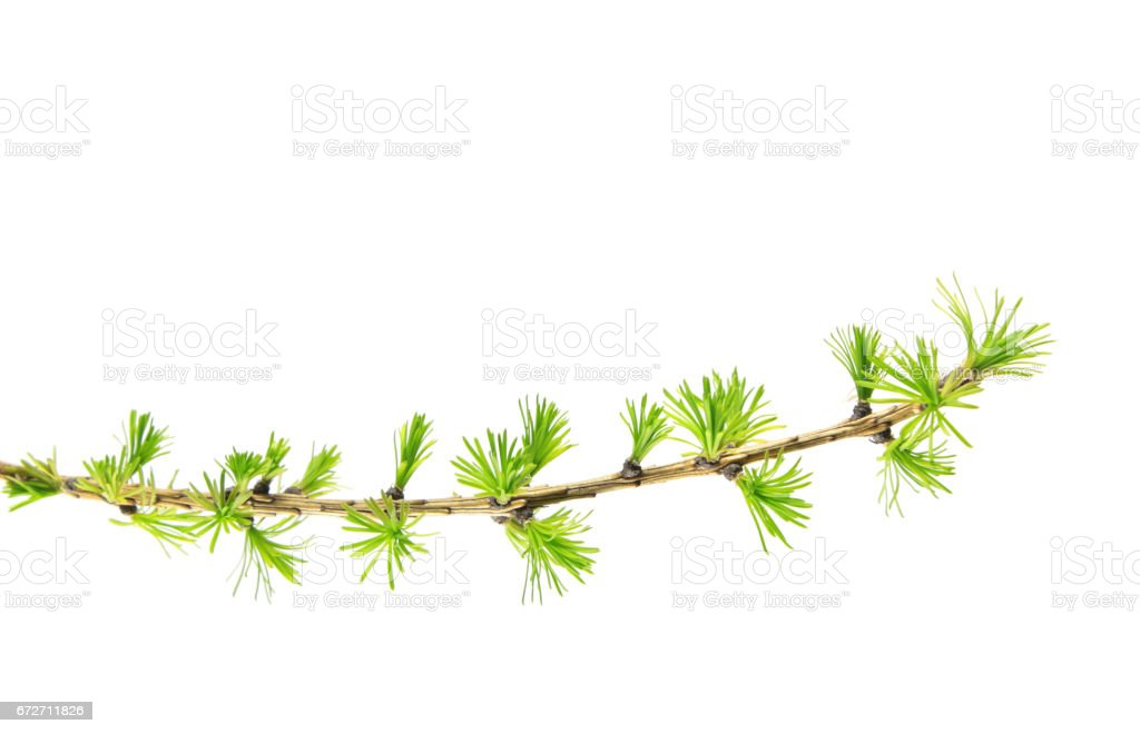 Branch of larch with green needles isolated on white background stock photo