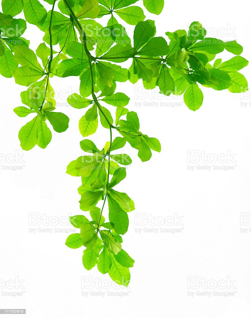branch of leaves royalty-free stock photo