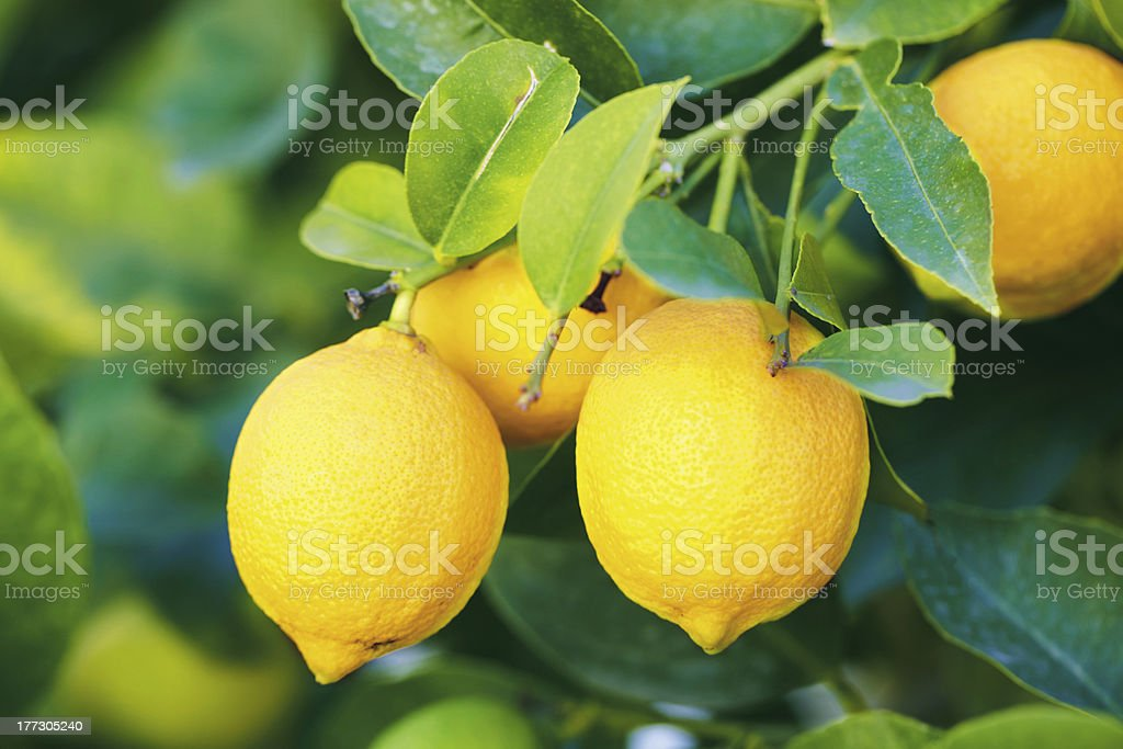 branch of lemons stock photo