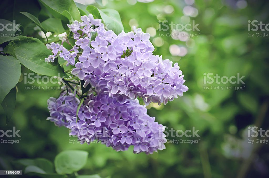 Branch of lilac flowers royalty-free stock photo