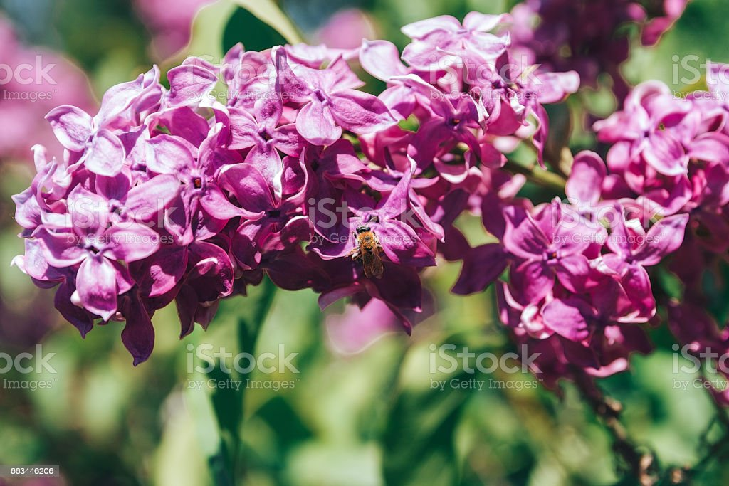 Branch of lilac flowers with the leaves and the little bee. stock photo