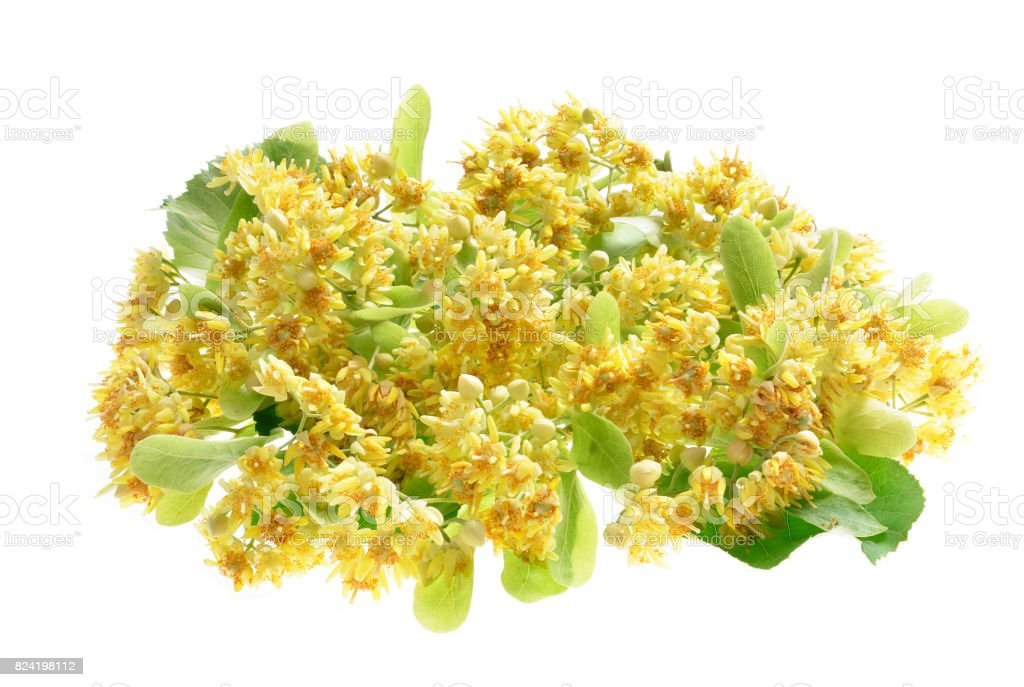 Branch of linden flowers isolated stock photo