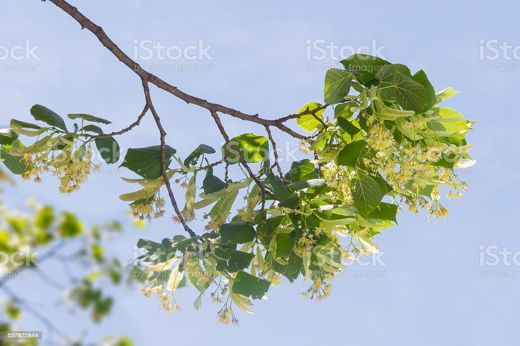 Branch of linden with flowers against the sky stock photo