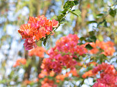 Branch of mixed bougainvillea flowers