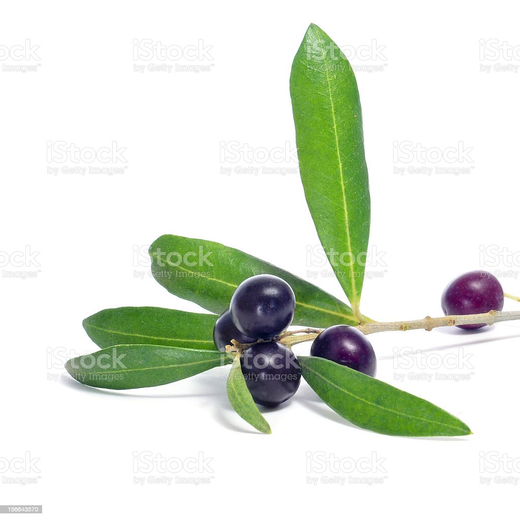 branch of olive tree stock photo
