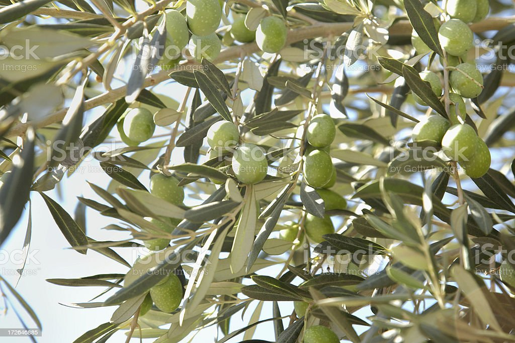 Branch of olive tree royalty-free stock photo