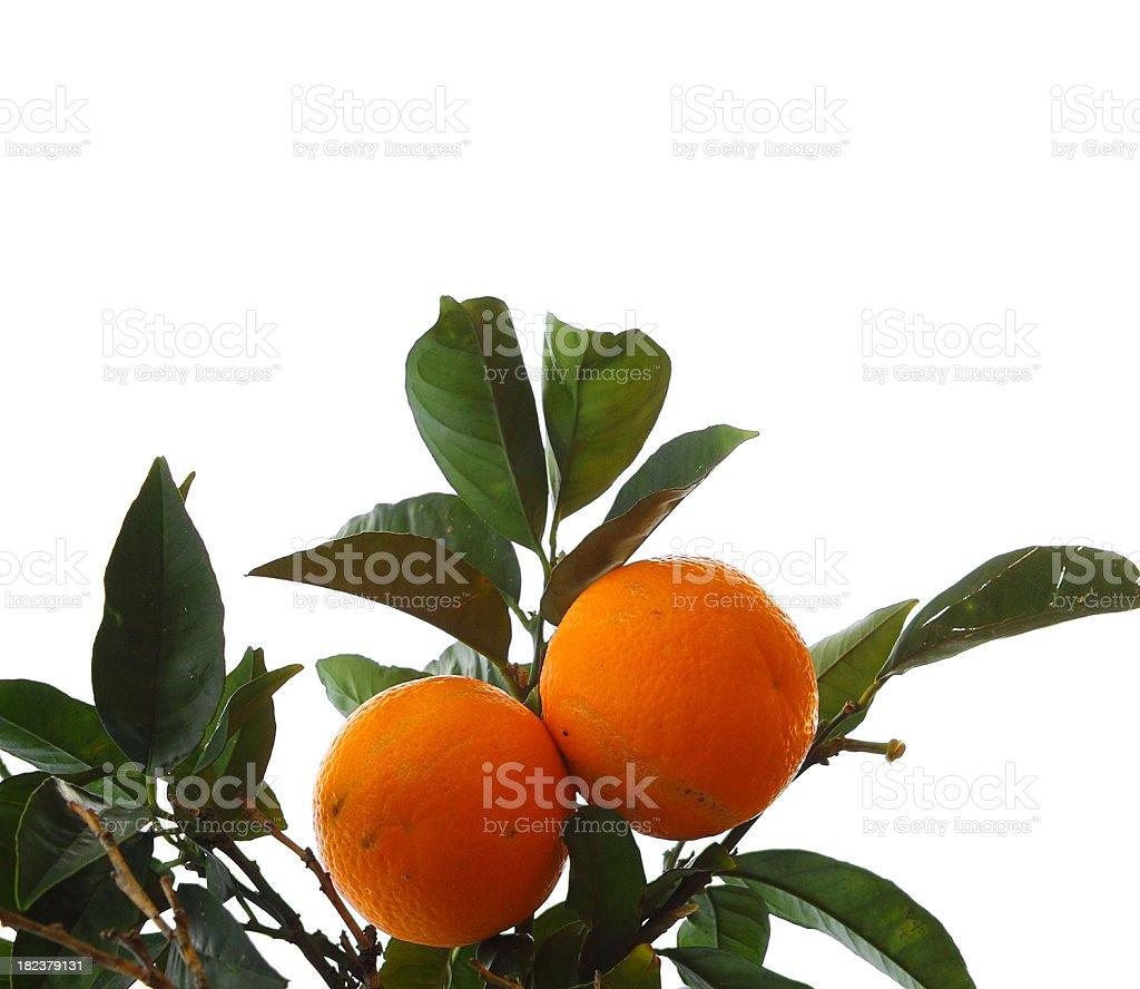 Branch of orange royalty-free stock photo