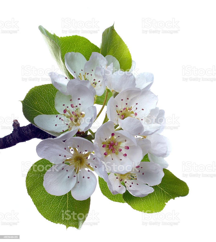 Branch of pear flower stock photo