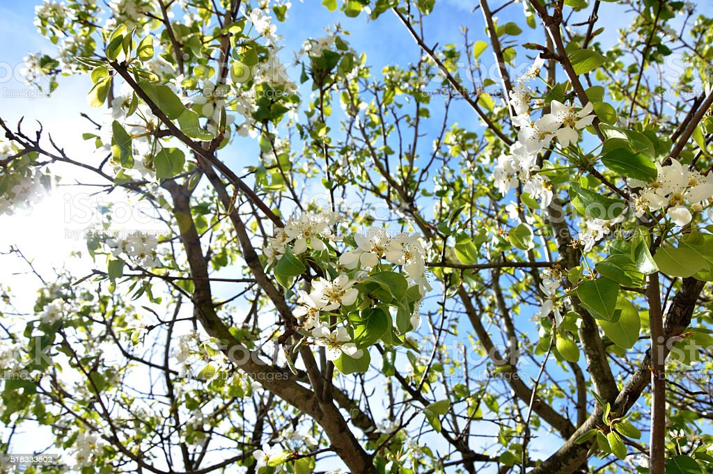 Branch of pear tree in spring stock photo