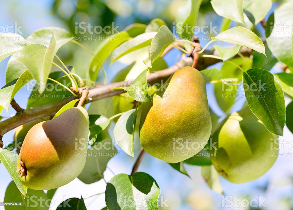 Branch of pears stock photo