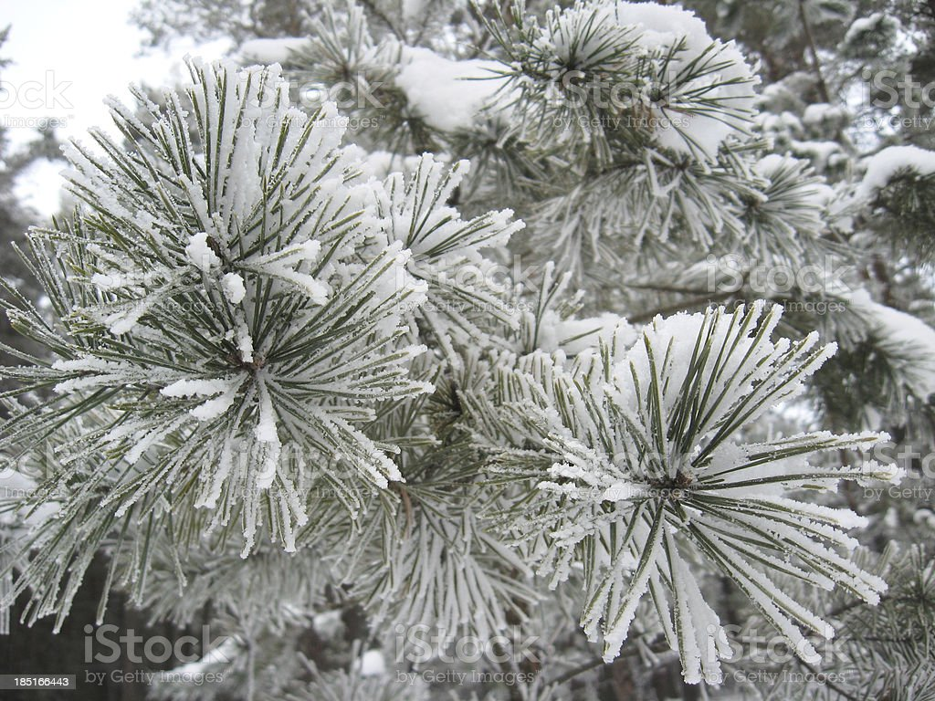 branch of pine in hoar-frost royalty-free stock photo
