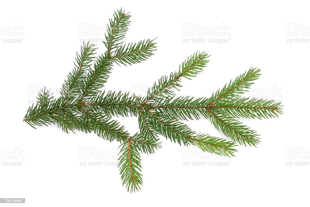 Branch of pine tree needles on white background royalty-free stock photo