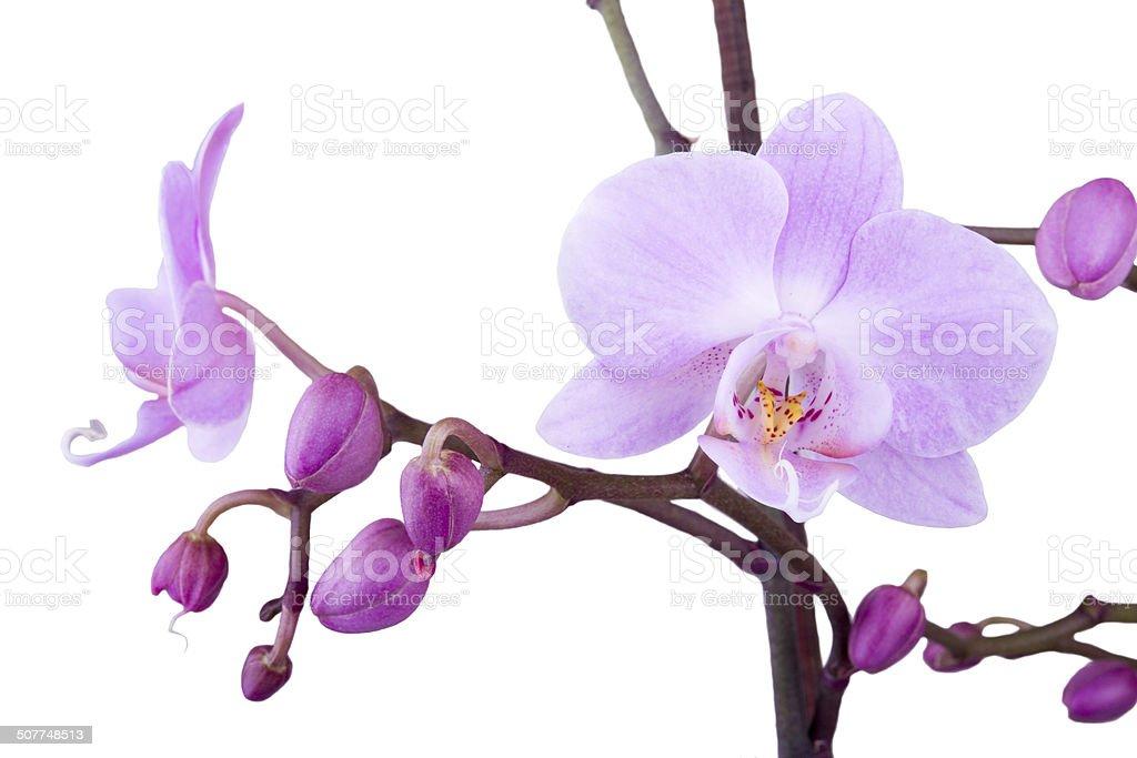 Filial de orquídea cor-de-rosa foto royalty-free