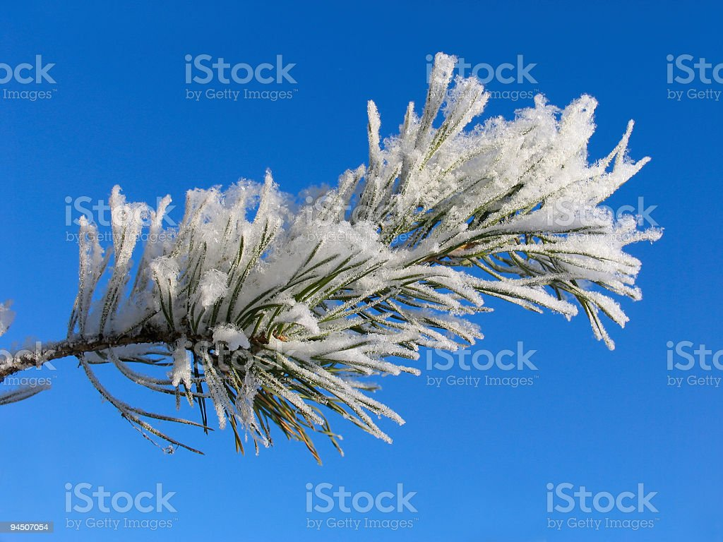 Branch of Pinus silvestris under hoar-frost royalty-free stock photo