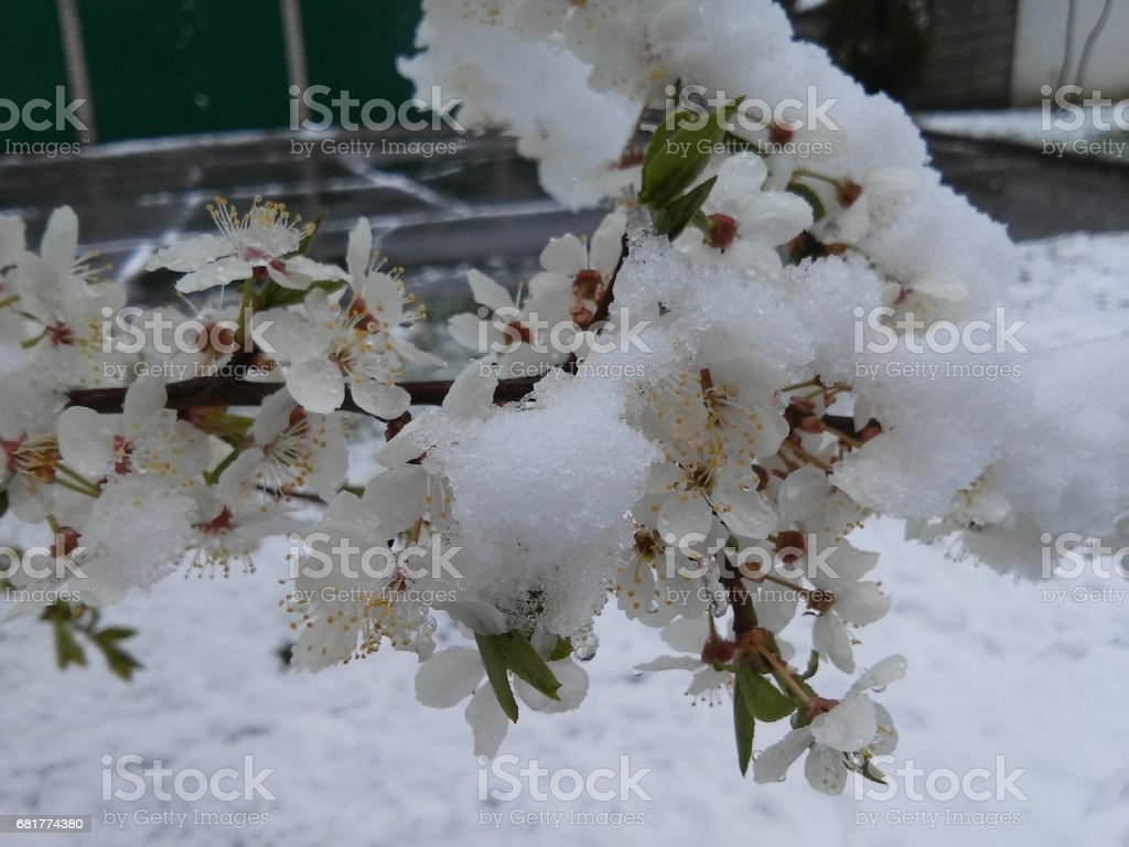 Branch of plum tree blossom covered with snow stock photo