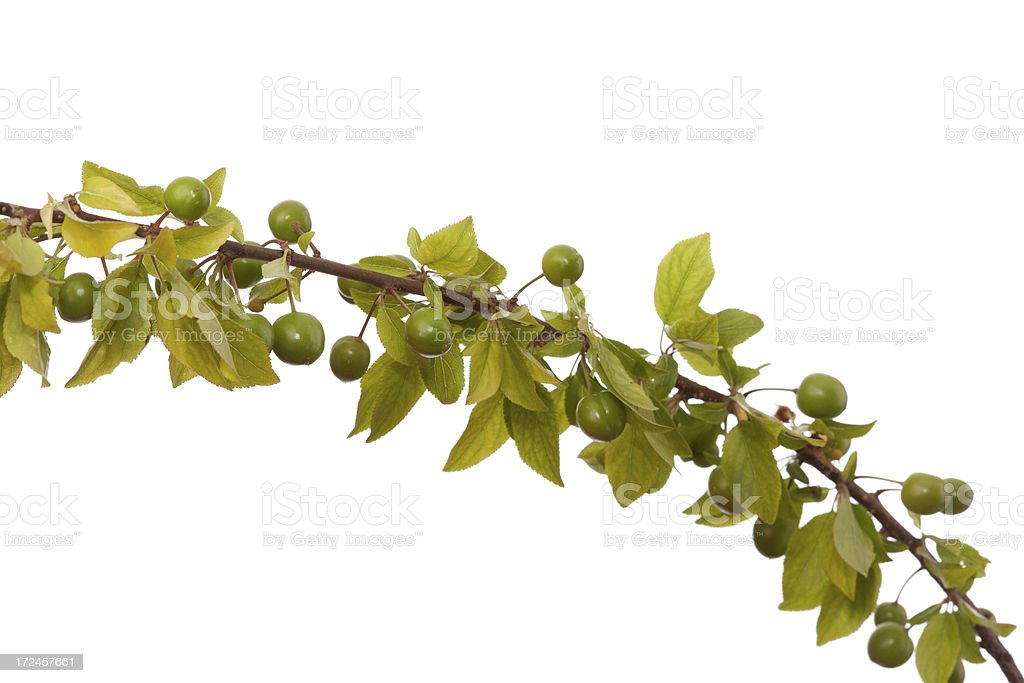 Branch of plum tree on white background stock photo