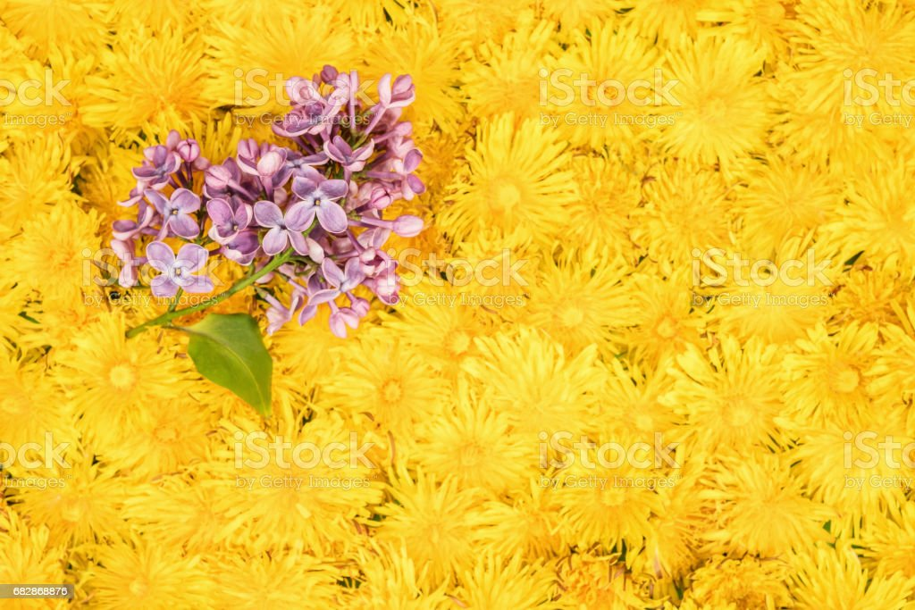Branch of purple lilac on dandelions stock photo
