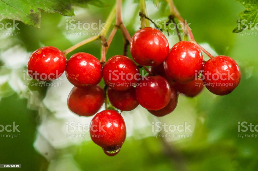 A branch of red berries with a water drop on the lowest berry stock photo
