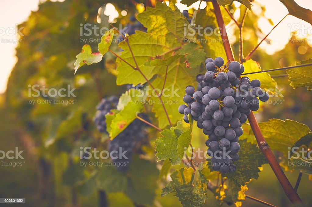 Branch of red grapes stock photo