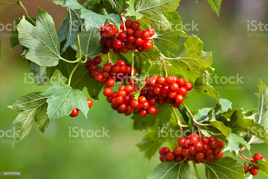 branch of red viburnum in the garden stock photo