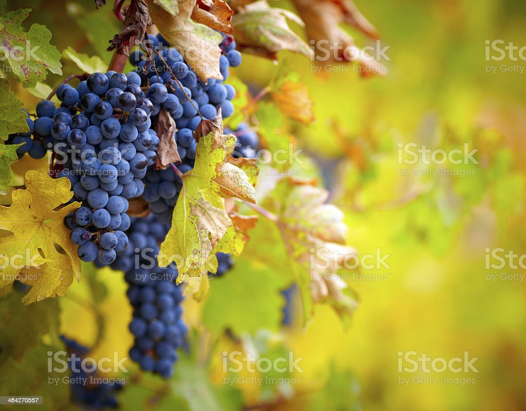 Branch of red wine grapes stock photo