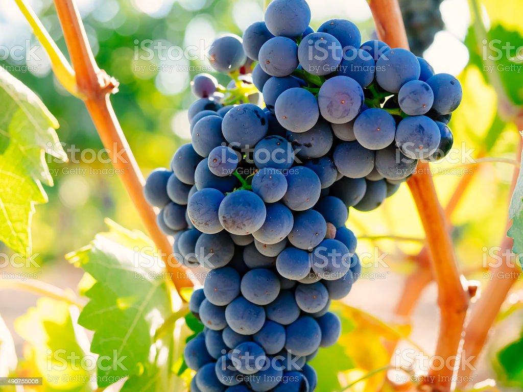 Filial de vinho tinto com uvas foto royalty-free