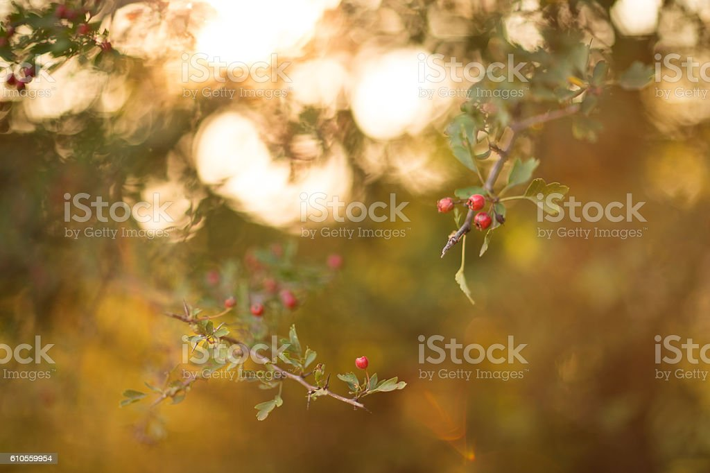 Branch of ripe hawthorn at sunny autumn day, close up stock photo