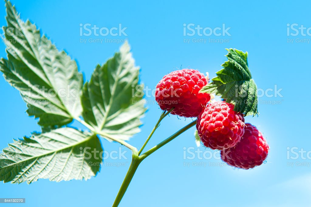 Branch of ripe raspberry stock photo
