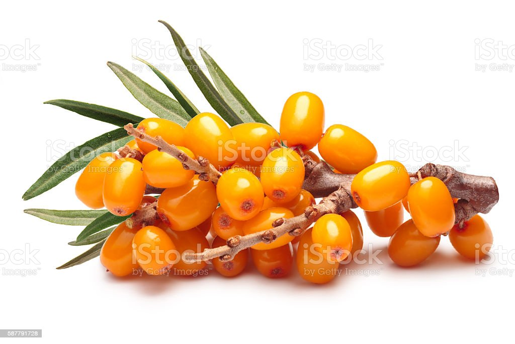 Branch of sea buckthorn berries, clipping paths stock photo