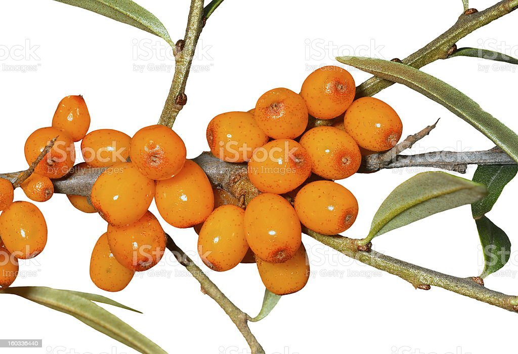 Branch of sea-buckthorn royalty-free stock photo