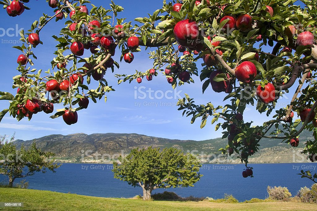 Branch of Shiny Red Apples with Lake View in Background stock photo