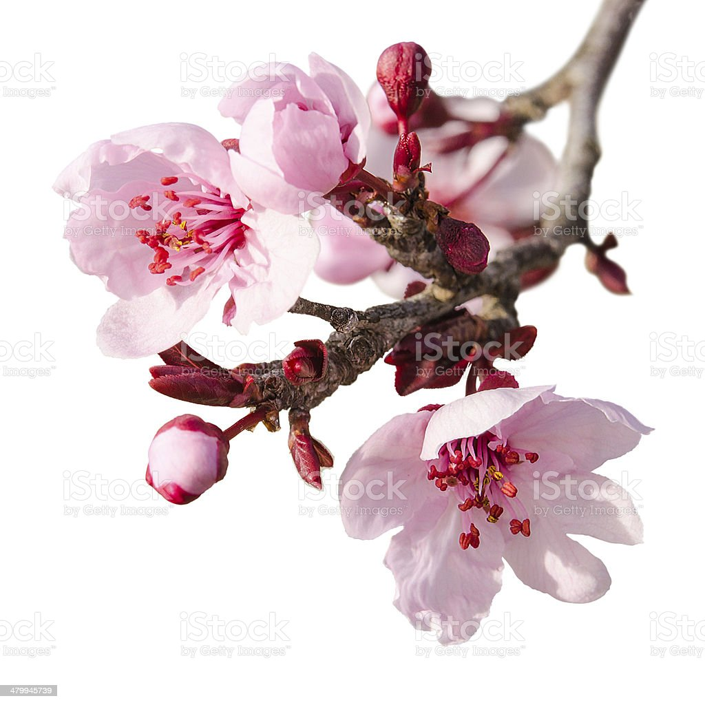 Branch of spring plum blossom with pink flowers and buds stock photo